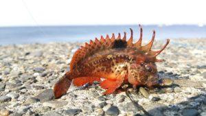 小さいけど危険か毒魚のハオコゼ