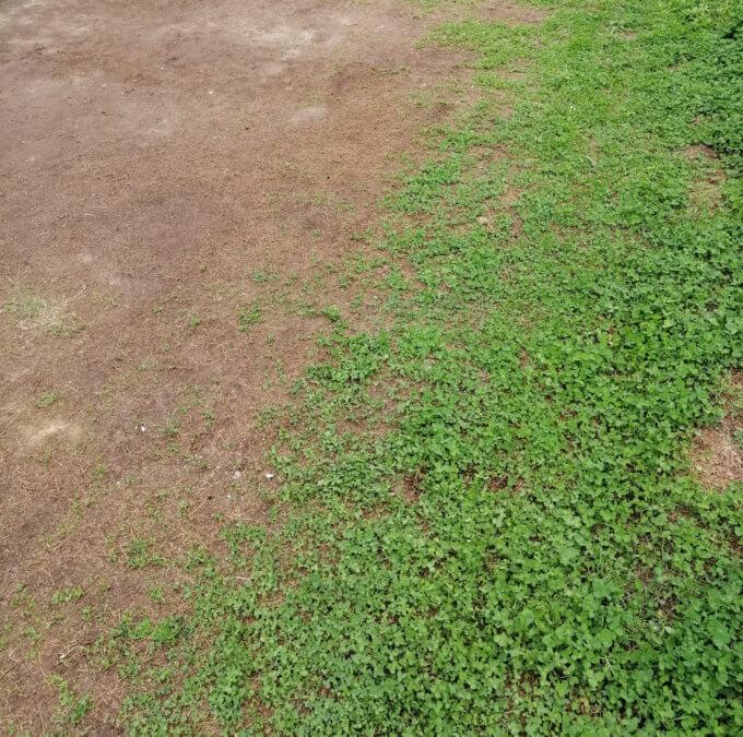 キャンプマナビスの芝